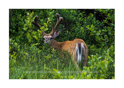 Whitetail Deer, Acadia National Park, Maine, Cards and Prints