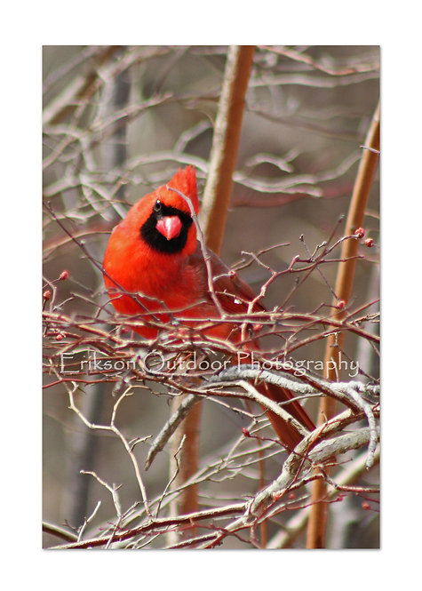 Northern Cardinal - male #2, Cards and Prints