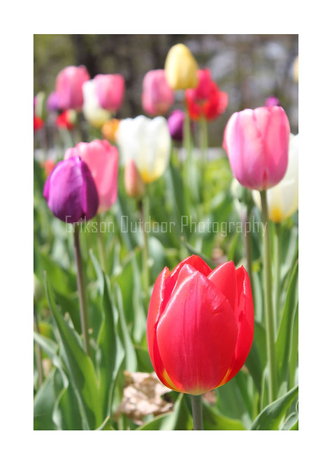 Red Tulip, Cards and Prints