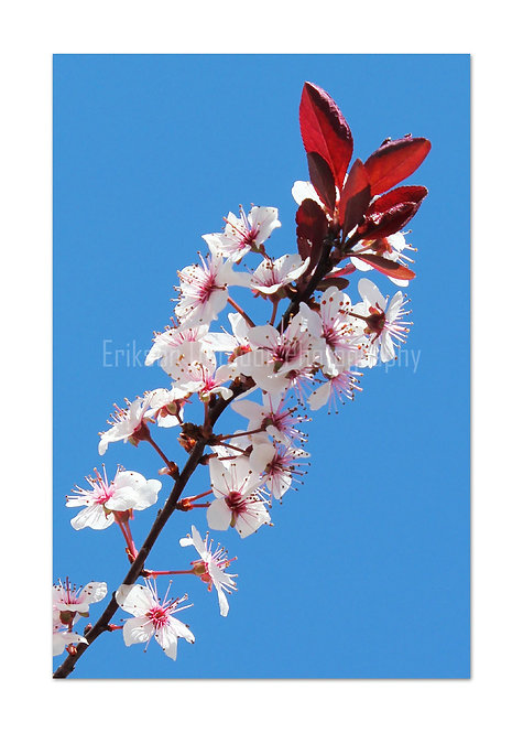 Japanese Cherry, Cards and Prints