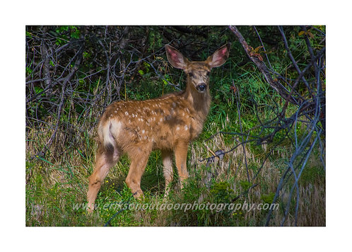 Mule Deer Fawn, Estes Park CO, Cards and Prints