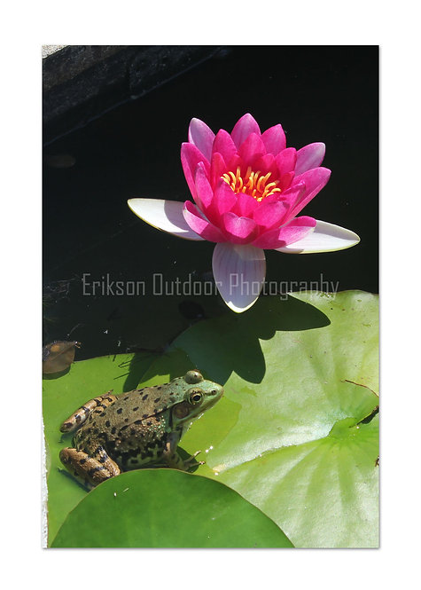 Lotus & Frog, Cards and Prints