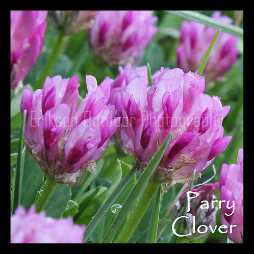 Parry Clover