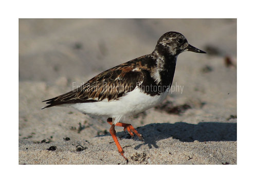 Ruddy Turnstone, Cards and Prints