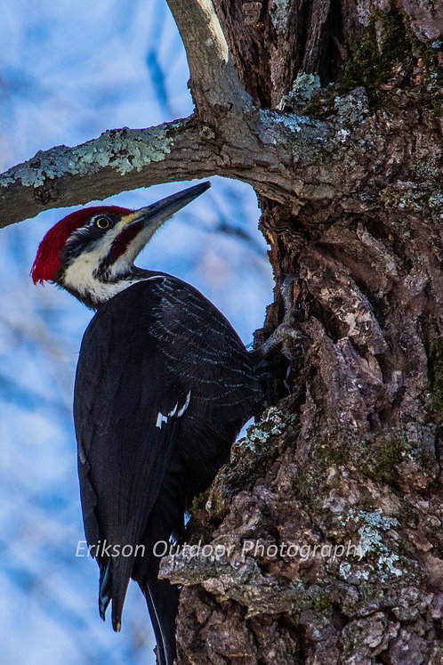 Pileated Woodpecker, Cards and Prints