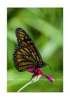 PCDE-0303-Monarch-ps.jpg