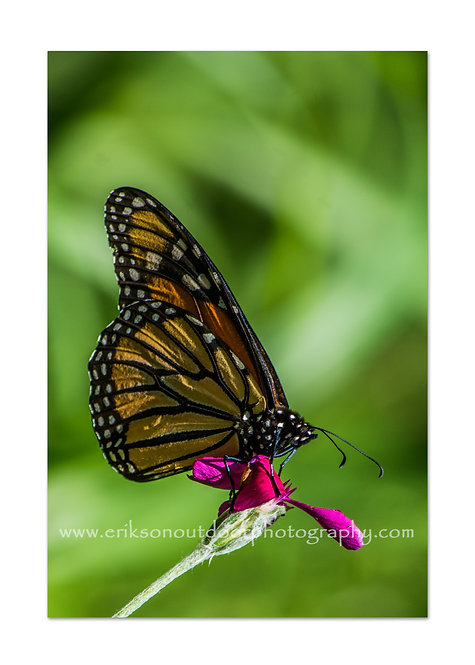 Monarch Butterfly on Rose Campion, Cards and Prints