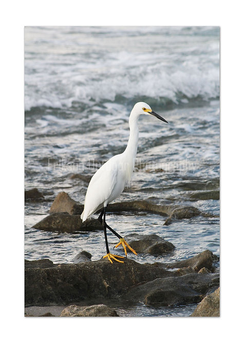 Snowy Egret, Cards and Prints