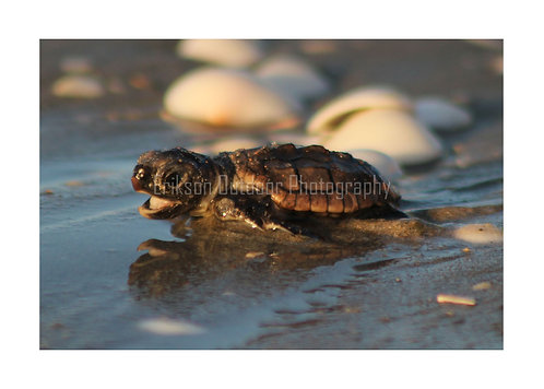 Loggerhead Hatchling, Cards and Prints