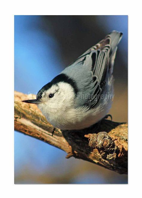 White-breasted Nuthatch, Cards and Prints