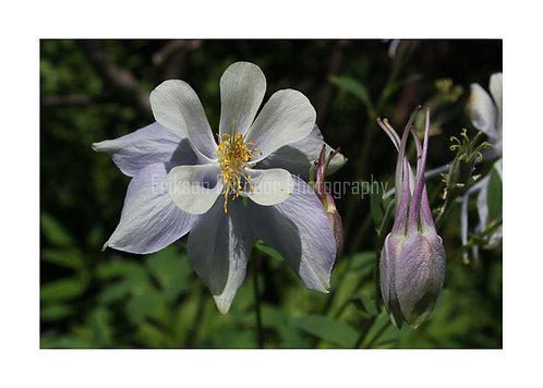 Colorado Blue Columbine, Cards and Prints