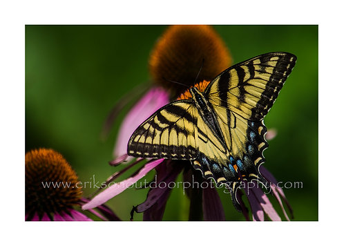 Eastern Tiger Swallowtail on Purple Coneflower, Cards and Prints