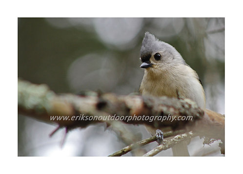 Tufted Titmouse, Cards and Prints
