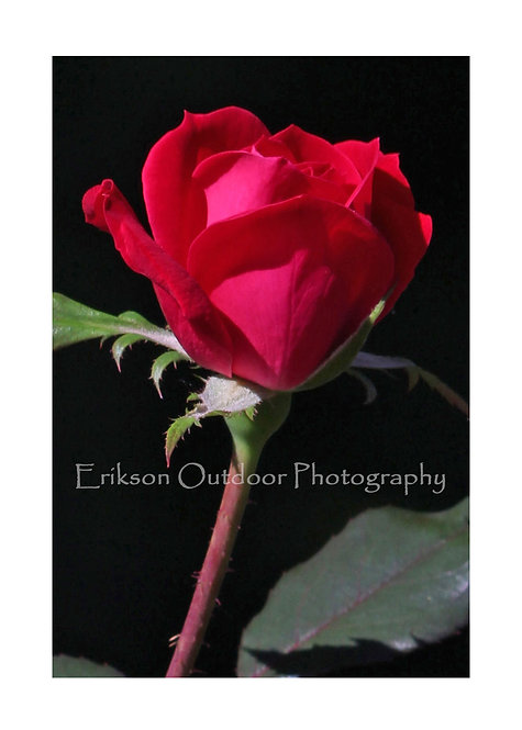 Red Rose, Cards and Prints