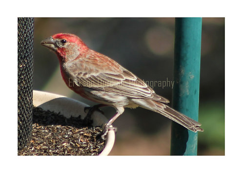 House Finch, Cards and Prints