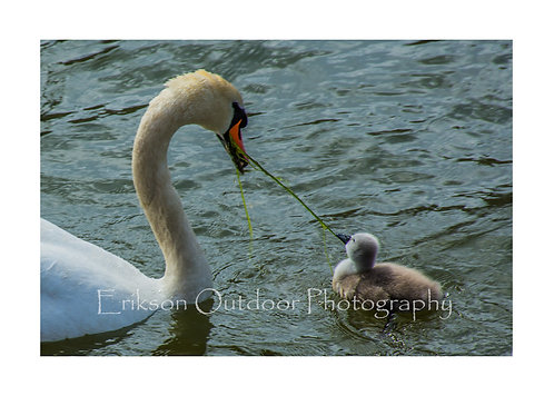 Swan Tug Of War, Cards and Prints