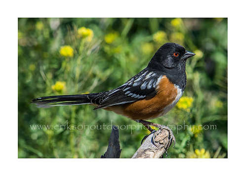 Spotted Towhee #2, Cards and Prints