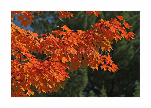 Sugar Maple Branch, Cards and Prints