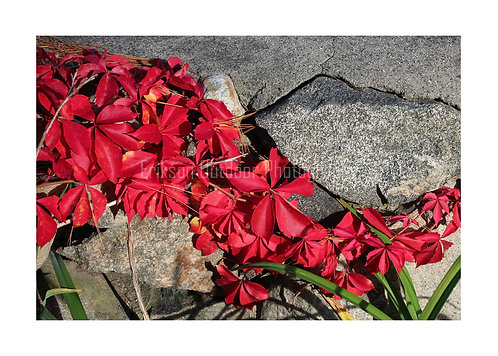 Virginia Creeper, Cards and Prints