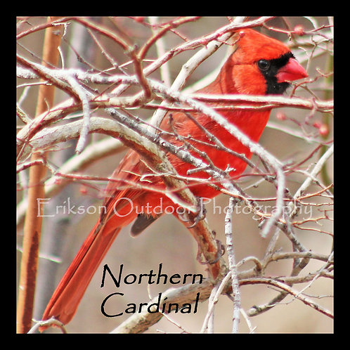 Wooden Coaster - Northern Cardinal - male #1