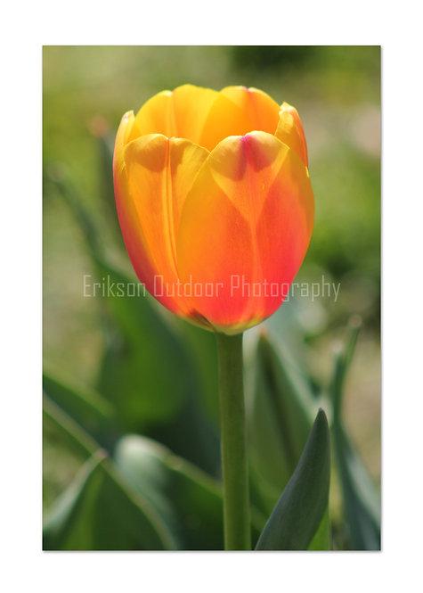 Orange Tulip, Cards and Prints