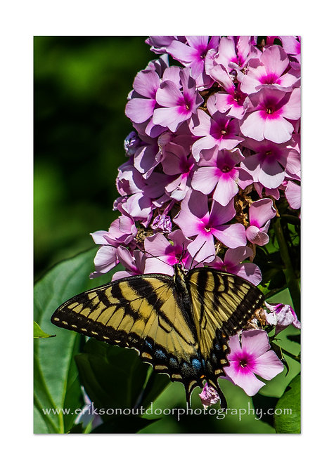 Eastern Tiger Swallowtail on Phlox, Cards and Prints