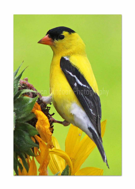 Goldfinch - male, Cards and Prints