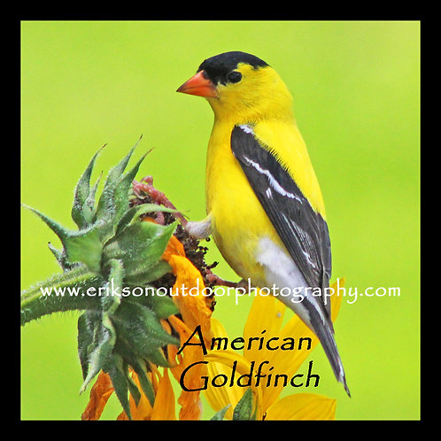 Wooden Coaster - American Goldfinch - male #2