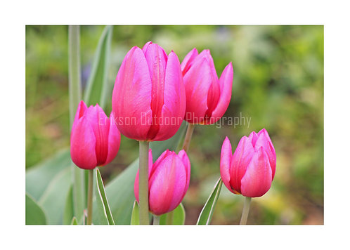Pink Tulips, Cards and Prints