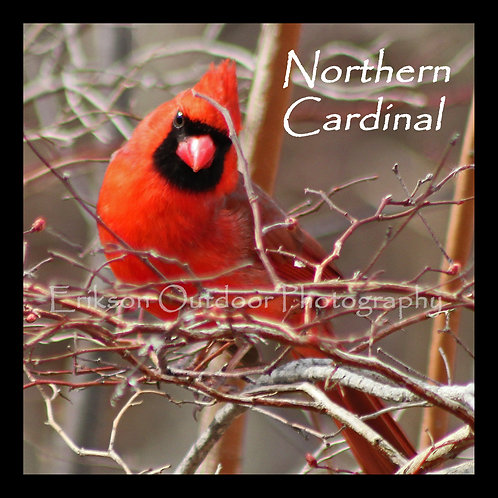 Wooden Coaster - Northern Cardinal - male #2