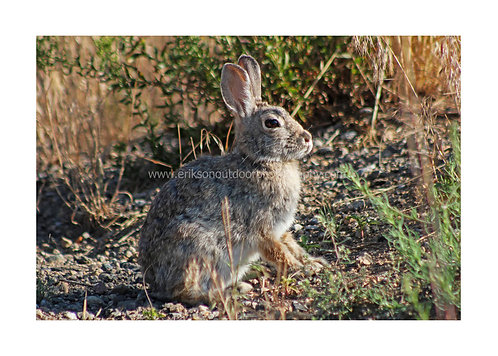 5X7 Greeting Card - Snowshoe Hare