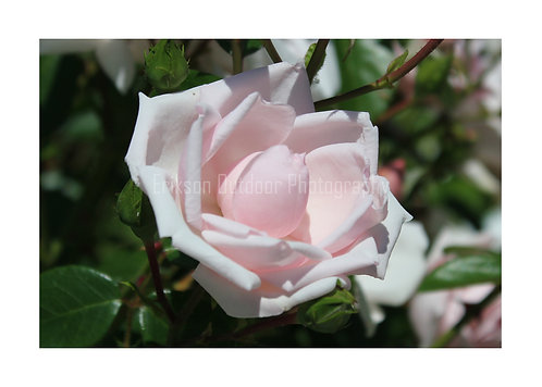Pink Rose, Cards and Prints