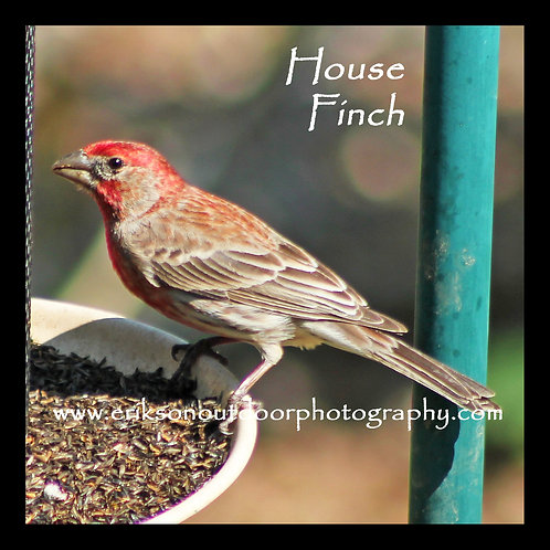 Wooden Coaster - House Finch