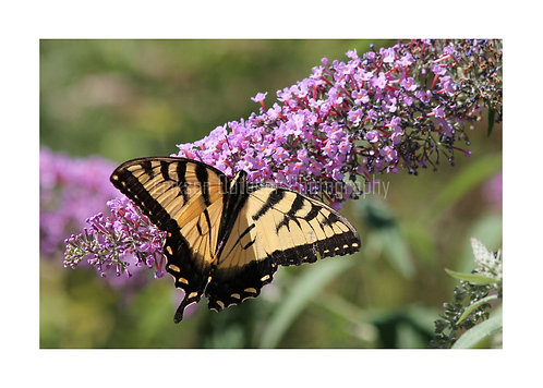 Eastern Tiger Swallowtail on Butterfly Bush, Cards and Prints