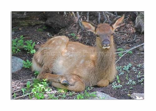 Elk Calf, Cards and Prints