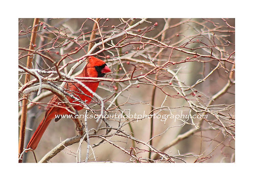Northern Cardinal - male #4, Cards and Prints