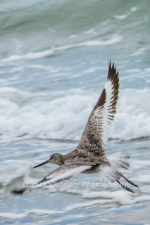 Willet Sandpiper | North Carolina | Cards and Prints