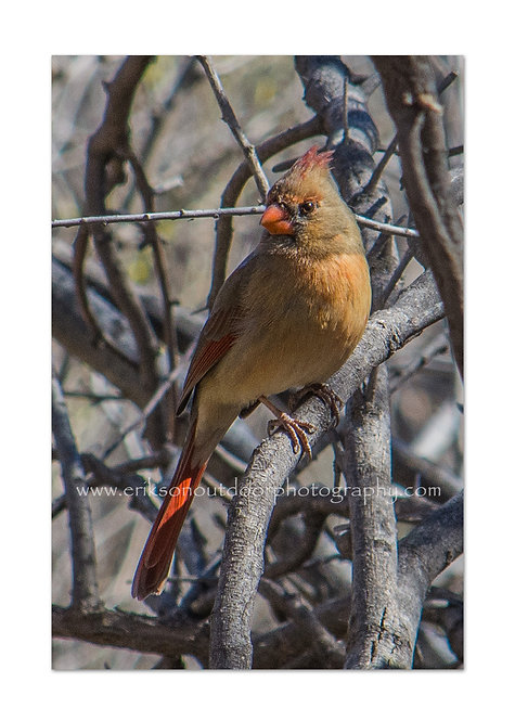 Northern Cardinal - female, Cards and Prints
