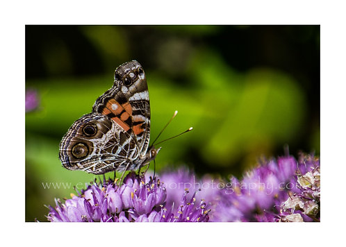 American Lady Butterfly on Allium Millenium, Cards and Prints