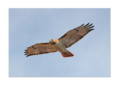 Red Tailed Hawk, Cards and Prints