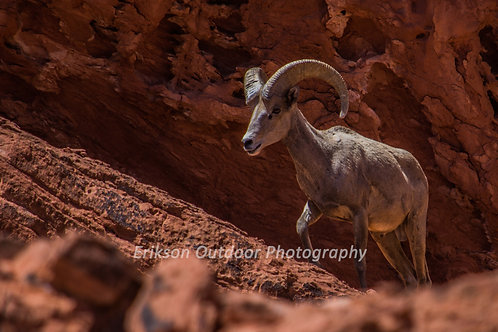 Big Horn Sheep, Cards and Prints