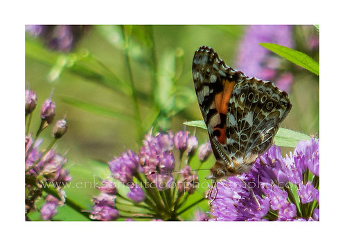 Painted Lady Butterfly on Millenium Allium, Cards and Prints