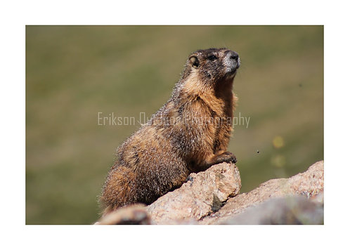 Marmot, Cards and Prints