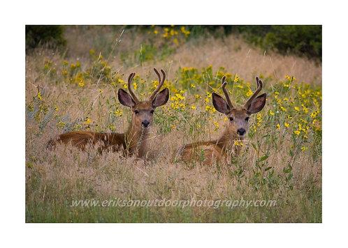 A Couple Bucks, Estes Park CO, Cards and Prints