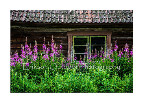 Fireweed & Window, Sweden, Cards and Prints
