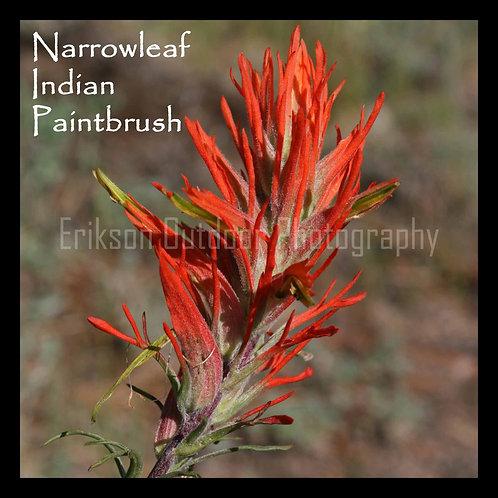Narrowleaf Indian Paintbrush