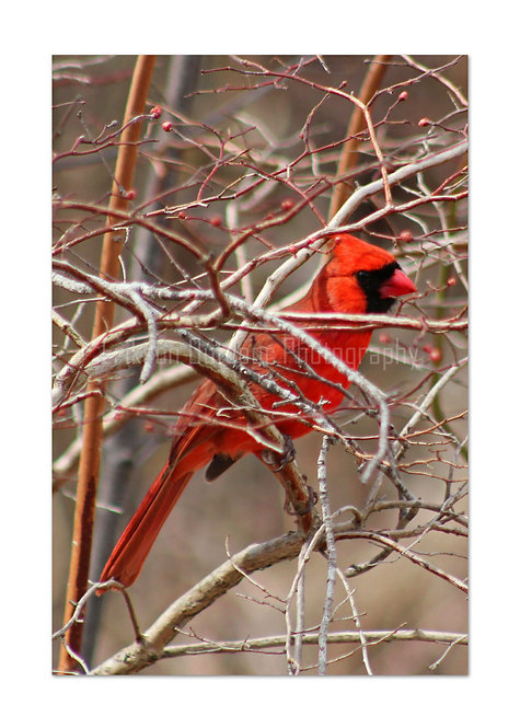 Northern Cardinal - male, Cards and Prints