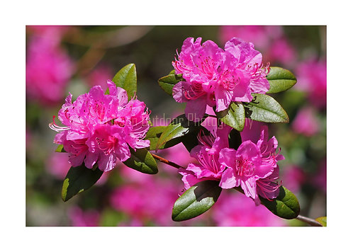 Rhododendron, Cards and Prints