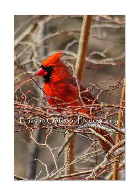 Northern Cardinal - male #3, Cards and Prints