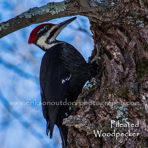 Ceramic Coaster or Trivet - Pileated Woodpecker